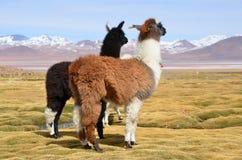 Llama en la Laguna Colorada, Bolivia Fotos de archivo libres de regalías