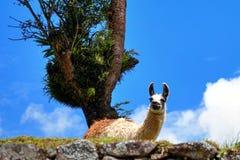 Llama en Machu Picchu cerca del árbol en el cielo azul Imagenes de archivo