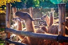 Llama in enclosure. Llama in zoo enclosure in safari-park, Krasnodar, Russia stock photography