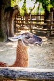 Llama in enclosure. Llama in zoo enclosure in safari-park, Krasnodar, Russia stock photos