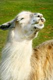Llama enjoys the sun Stock Images