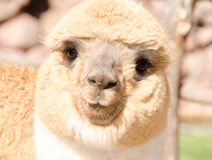 Peruvian alpaca face Royalty Free Stock Photography