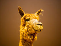 Llama face close up. In solid background Stock Photo