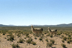 Llama family in the Andes mountain range Stock Image