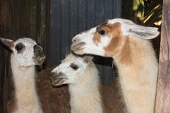 Llama family eating hay Royalty Free Stock Images