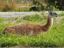 Llama in a farm Royalty Free Stock Images