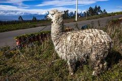 Llama farm Stock Image