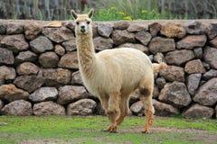 Llama. On the farm, Chile royalty free stock image