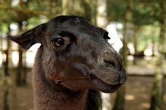 Llama at a farm Stock Photography