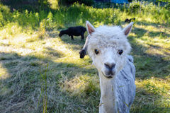 Llama on a farm. Among lush grass Stock Photo