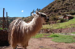 Llama Farm Royalty Free Stock Photo
