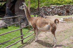 Llama Farm Royalty Free Stock Image
