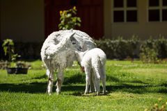 Llama feeding her white puppy with milk Royalty Free Stock Images