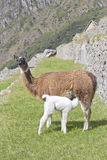 Llama feeding puppy. Lhama feeding her white puppy Stock Photo