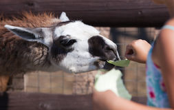Llama, feeding time Stock Images