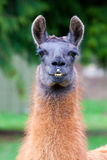 Llama in Field Royalty Free Stock Images