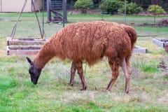 Llama in Field Royalty Free Stock Photo