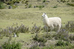 Llama on the field. Llama and Latin American picturesque mountain view royalty free stock photo