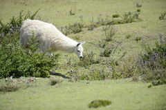 Llama on the field. Llama and Latin American picturesque mountain view royalty free stock photography