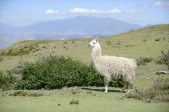 Llama on the field. Llama and Latin American picturesque mountain view stock photography