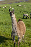 Llama in field with sheep. Royalty Free Stock Images
