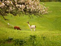 Llama with Flowers. A beautiful view over llamas in grassland with flowers stock photography