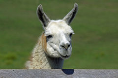 Llama. A friendly llama looking over the fence, close up the head Stock Photos