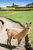 Llama in front of Ingapirca ruins. Llama in front of ancient Ingapirca ruins, the most important Inca site in Ecuador Royalty Free Stock Photo