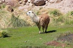 Llama glama λάμα στο χωριό Caspana, Χιλή στοκ εικόνες