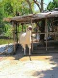 Llama glama λάμα στοκ εικόνα με δικαίωμα ελεύθερης χρήσης