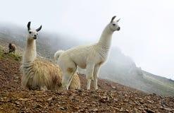 Llama glama λάμα στο τοπίο βουνών στοκ εικόνες