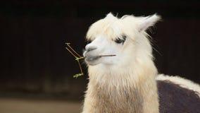 Llama (glama del lama) Imagen de archivo