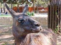 Llama (glama lama) Стоковое Изображение