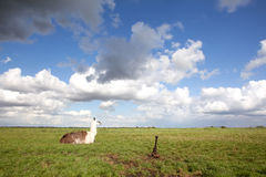 Llama in the grass and blue sky Stock Photos