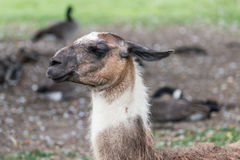 Llama on grass field Stock Image