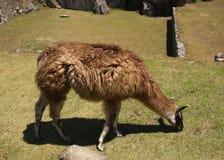 Llama grazing. One brown lama grazing on a sunny grass field of Machu Picchu. Lama glama royalty free stock image