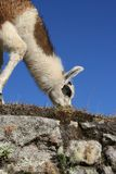 Llama grazing at Machu Picchu Stock Photos