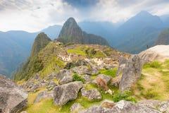 Llama grazing at Machu Picchu stock photo