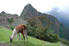 Llama grazing at Machu Pichu Royalty Free Stock Photography