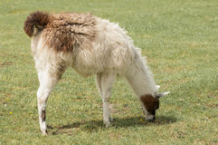 Llama Grazing Royalty Free Stock Images