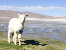 Llama Greeting you stock photos