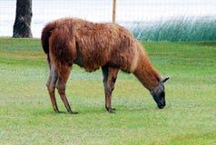 Llama in the Grutas park near Druskininkai town Royalty Free Stock Images