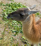 Llama guanaco. Eats grass in Zoo Royalty Free Stock Photo