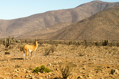 Llama guanaco (Lama guanicoe) Royalty Free Stock Images