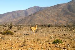 Llama guanaco (Lama guanicoe) Stock Photos
