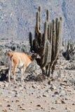 Llama guanaco (Lama guanicoe) Stock Image
