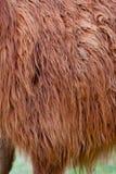 Llama Hair Royalty Free Stock Photography