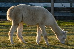 A Llama happily grazing peacefully in a corral, Lancaster County, PA stock photography
