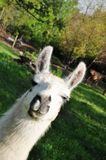 Llama happy Stock Image