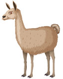 Llama with happy face Royalty Free Stock Images